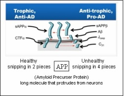 APP (Amyloid Precursor Protein) - ALZ Causes & Treatment